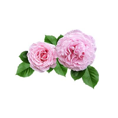Eau de Rose Alba bulgare